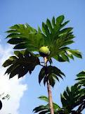 breadfruit4GardeningDirections