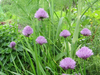 chive_flowers herb gardening directions