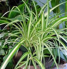 imagesCA925SNJ spider plant chlorophytum gardening directions